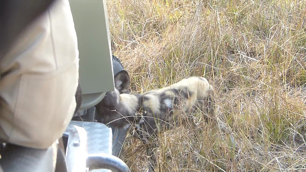Lagoon:  Wild dog checks out our vehicle  0:51
