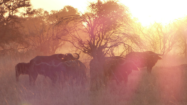 Cape Water Buffalo at sunset