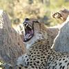 "Sandibe:  ""After the kill"" yawn"