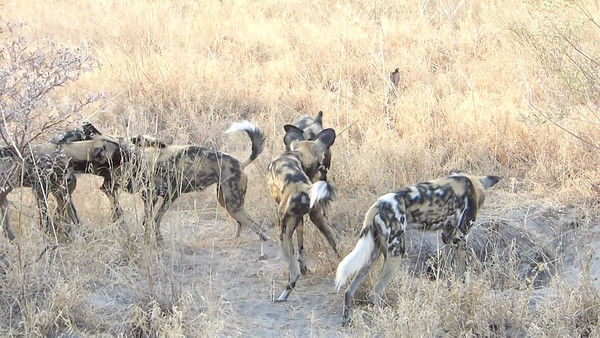Lagoon camp:  Wild dogs looking for a new den 1:51