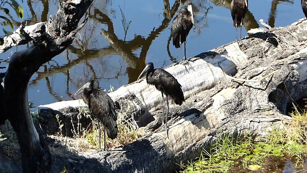 Savuti:  African Openbill Storks at rivers edge of my room  0:34