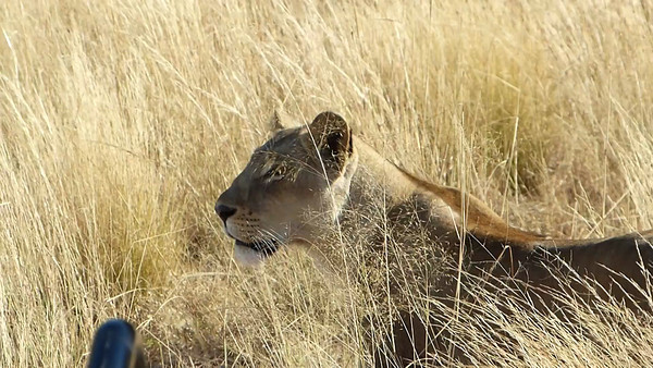 Sandibe: Lions walking by vehicle in grass 0:15