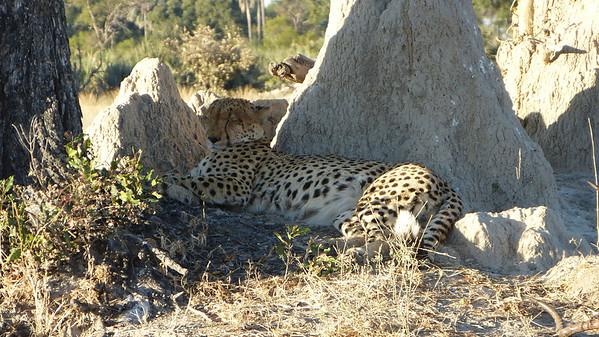 Quiet...  Cheetah napping zone