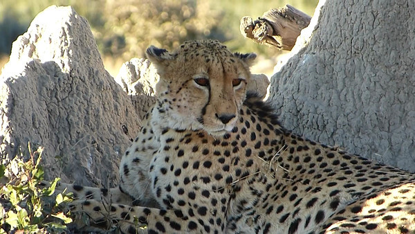 Sandibe:  Cheetah rests after killing an Impala... then its dinner time!!  4:16