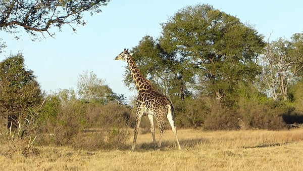 Giraffe out for a stroll  0:36