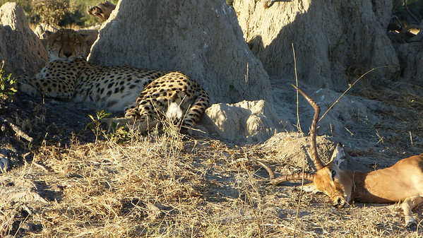 Sandibe:  Cheetah rests up after killing dinner