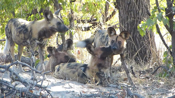 Kwara:  Wild dogs at their den  0:59