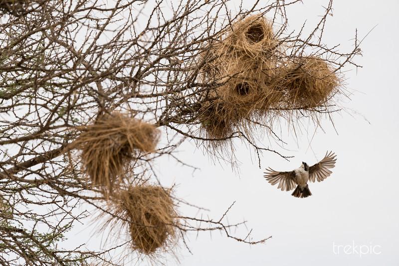 Weaver Rising