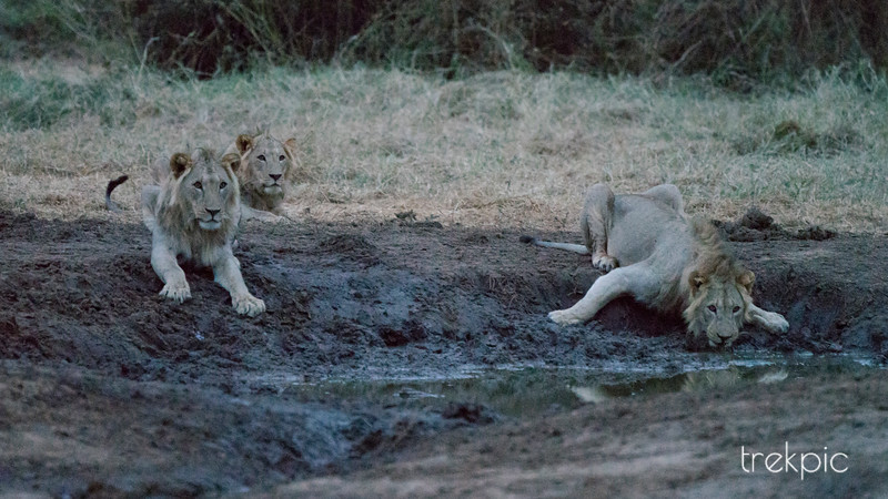 Waterhole Confrontation Series - 1 of 4