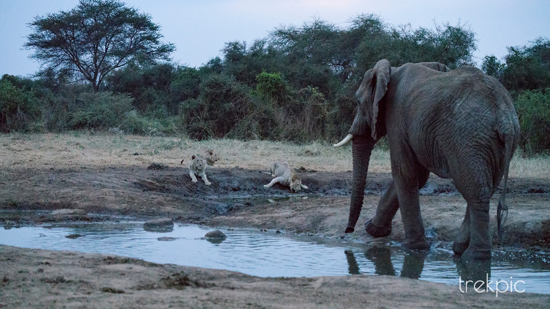 Waterhole Confrontation Series - 2 of 4