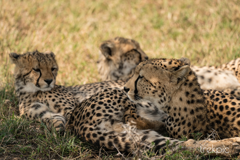 Cheetah | Maasai Mara