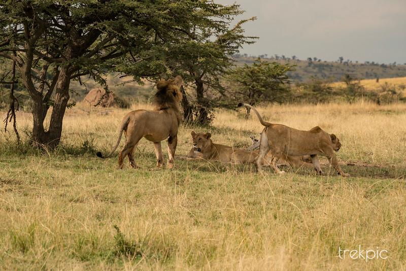 Lion Lunch Dispute | Maasai Mara
