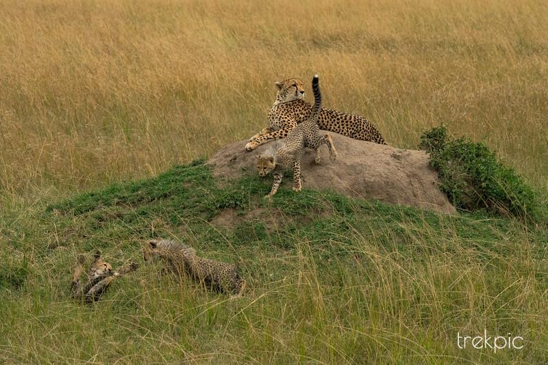Cheetah Amani and Cubs | Maasai Mara