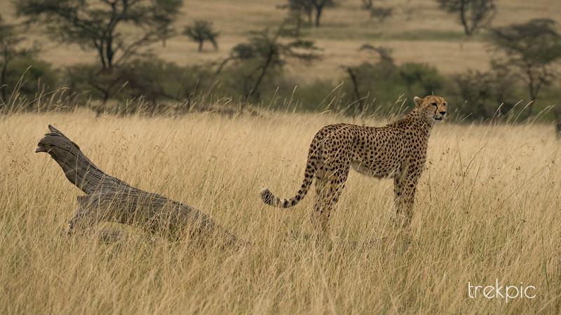 Cheetah Amani | Maasai Mara