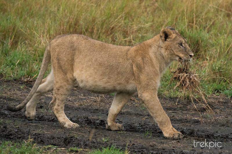 Cub on a Hunt