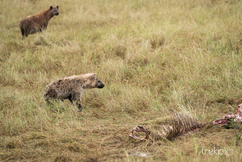 Spotted Hyena at Leopard Kill   Maasai Mara