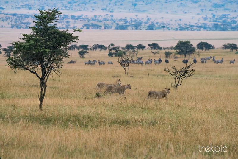 Hunt for Zebra   Maasai Mara