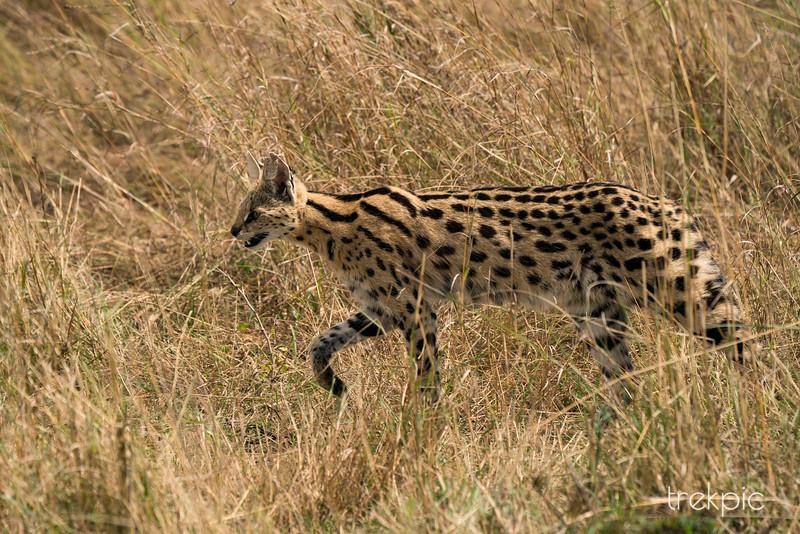 Serval Cat | Maasai Mara