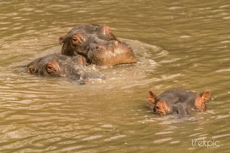 Hippos | Maasai Mara