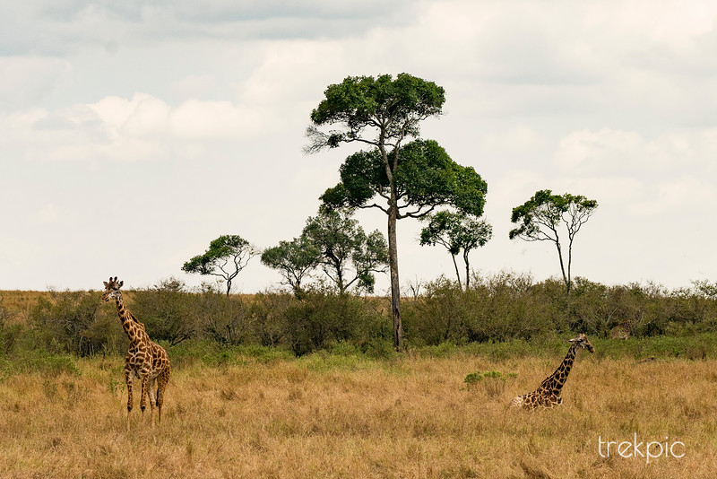 Maasai Giraffe | Maasai Mara