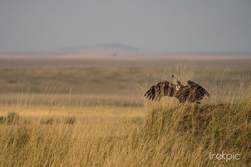 Female Vulture on a Mound   Maasai Mara