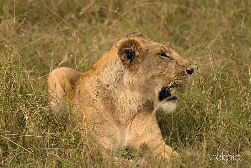 Lioness | Maasai Mara