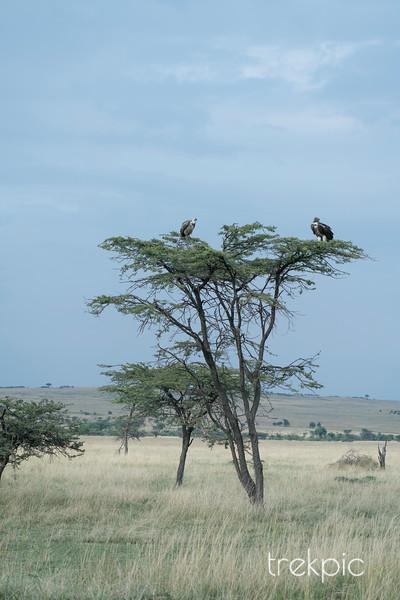 Vultures | Maasai Mara