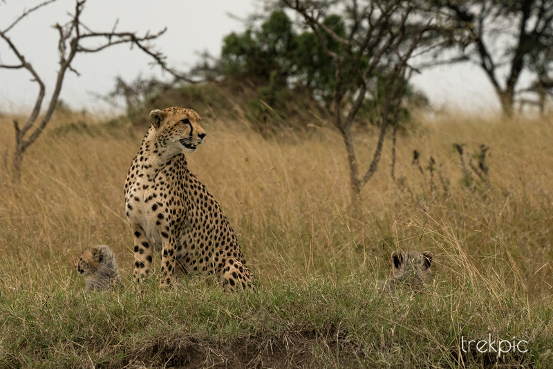 Cheetah Amani and Cubs | Maasai Mara