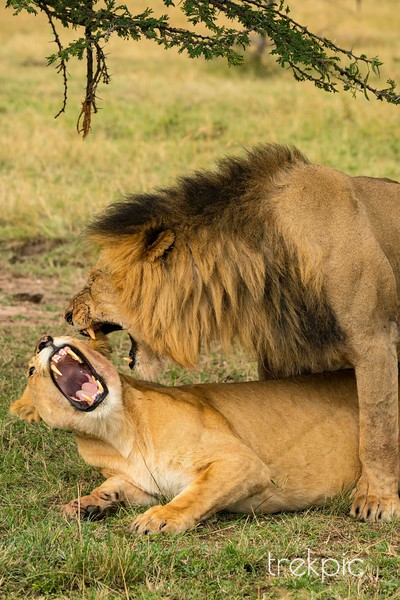 Lion Lunch Dispute | Maasai Mara
