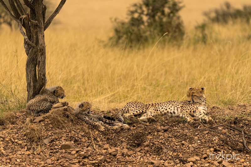 Cheetah Welcome