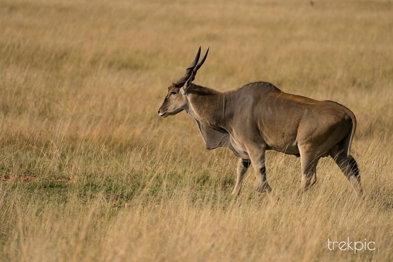Eland | Maasai Mara
