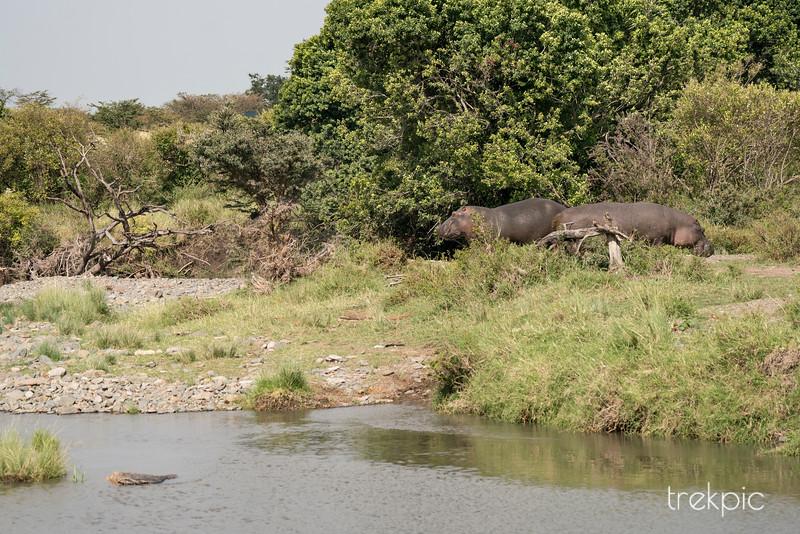 Hippo | Maasai Mara