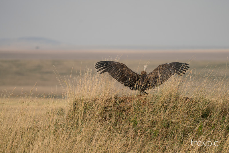 Female Vulture on a Mound | Maasai Mara