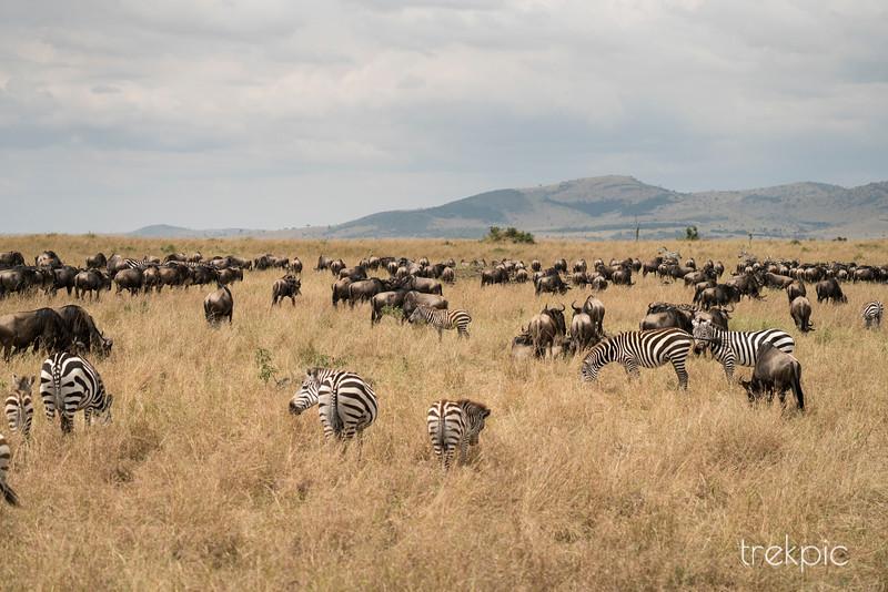 Wildebeest Migration | Maasai Mara