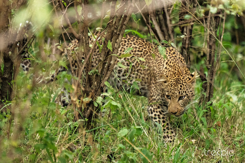 Leopard Hunt