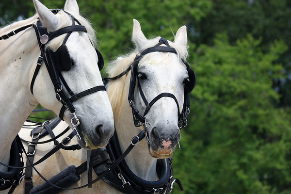 Percheron Draft Horses