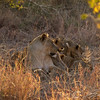 Lioness with litter of cubs
