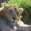 Lion Amber Eyes