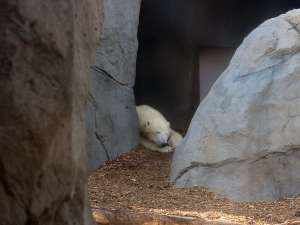Snoozing Polar Bear