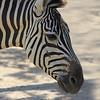 Zebra - Facial Lines