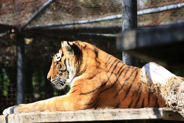 Amur Tiger Sunning Himself