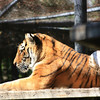 Amur Tiger Sunning Himself
