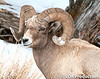 Male Bighorn Sheep in Winter