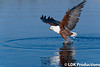 Fish Eagle on the Chobe River