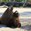 Camel hamming it up!