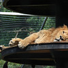 Portrait of a Lazy Lion
