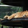 Portrait of a Lazy Lion