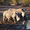 White rhinos at water hole