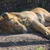 Lion Catching Some ZZZ's