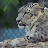 Portrait of a Snow Leopard 2